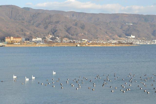 諏訪湖に集まるミズドリの群れ
