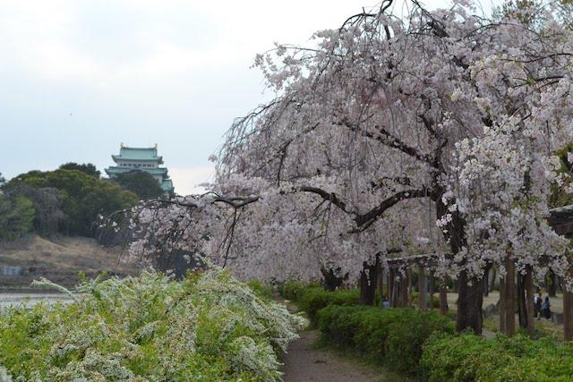 枝垂れ桜が美しい名城公園から眺める名古屋城天守閣