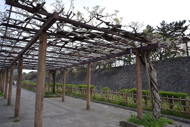 ゴールデンウィーク頃に藤の花が見頃となる名古屋城「藤の回廊」の藤棚