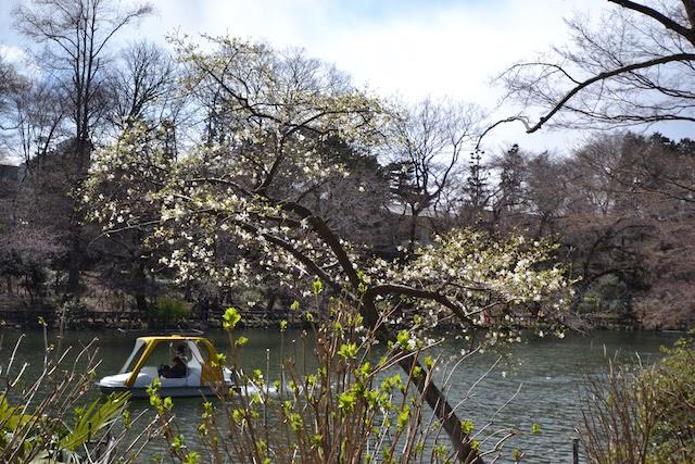 井の頭池でボートを漕ぎながらのお花見も