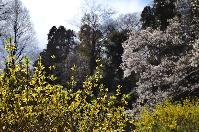 井の頭恩賜公園の桜と新緑のコントラスト
