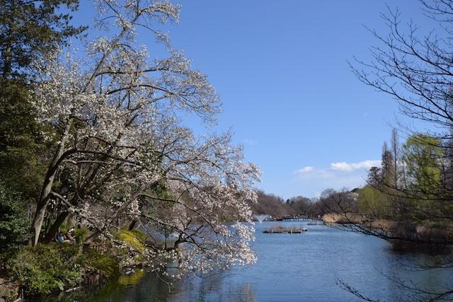 井の頭池のほとりで成長した大きな桜の木