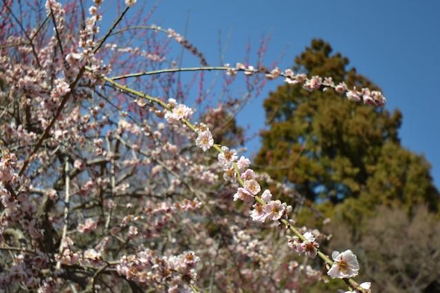 咲き初めた井の頭恩賜公園の桜
