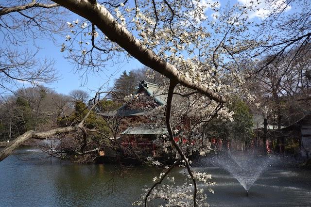 立派な桜の枝越しに見える井の頭弁財天