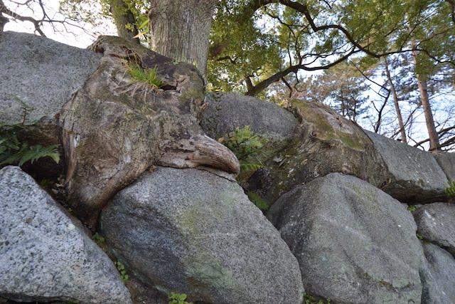 名古屋城の石垣に根を張る大木